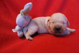 Foto 5 Unsere Golden Retriever Welpen sind am 29.12.2013 geboren !!