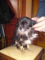 Foto 3 Ver.Chihuahua Papa, Mama u,3 Babay (auch einzeld)