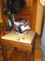 Foto 4 Ver.Chihuahua Papa, Mama u,3 Babay (auch einzeld)