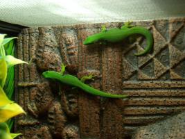 Vergebe Pfauenaugen Taggeckos