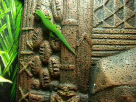 Foto 4 Vergebe Pfauenaugen Taggeckos