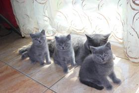 Verkaufe 2 Britisch Kurzhaar Katzenbabys 8Wochen alt