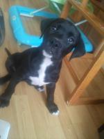 Verkaufe meine 9 Wochen alte Labrador Boxer Mischlings Hündin!