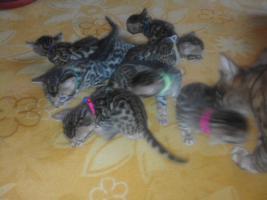 Foto 3 Verkaufe Bengalkatze mit Papiere