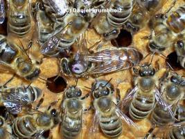 Verkaufe Bienenvölker