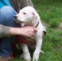 Foto 2 Verkaufe Bildhschöne Dogo Argentino Welpen
