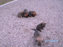 Foto 2 Verkaufe Kaukasen-Mischlinge
