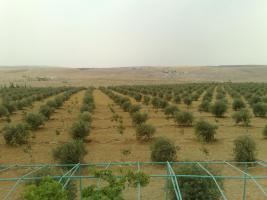 Foto 19 Verkaufe Olivenplantage in Jordanien 55.000qm mit 200 qm Haus