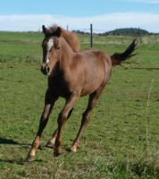 Verkaufe PH-Stallion