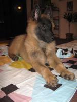 Foto 3 Verkaufe Welpe Hündin Belgischer Schäferhund Tervueren