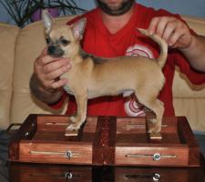 Foto 3 Verkaufe Welpen Chihuahua mit Papiere (FCI)