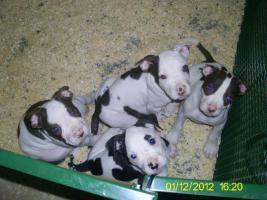 Verkaufe ab sofort 8 reinrassige American Bulldog Welpen