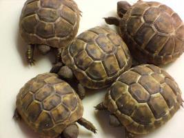 Verkaufe griechische Landschildkröten NZ 09