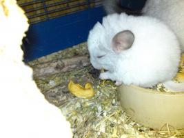 Foto 2 Verkaufe kleine süße Chinchillababys
