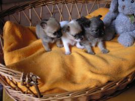 Foto 2 Verkaufe schöne Welpen Chihuahua