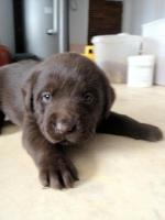 Verkaufe schöne braune Labradorwelpen