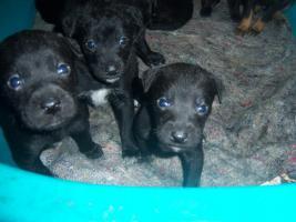 Foto 2 Verkaufe  Staffort Labrador Mixe