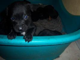 Foto 3 Verkaufe  Staffort Labrador Mixe