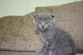 Foto 3 Verkaufen 3BKH's und eine Scotish Fold Kitten