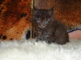 Foto 2 Verkaufen hier wunderschöne Cashmere-Savannah Kitten   aus einer Hobbyzucht.