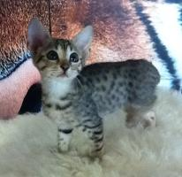 Verkaufen wunderschöne reinrassige Savannah Kitten aus einer Hobbyzucht