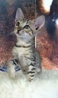 Foto 2 Verkaufen wunderschöne reinrassige Savannah Kitten aus einer Hobbyzucht