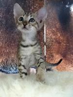 Foto 4 Verkaufen wunderschöne reinrassige Savannah Kitten aus einer Hobbyzucht
