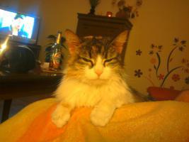 Verschenke meine MainCoon Katze