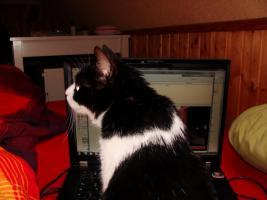Verschmustes Katzenmädchen 12 Mon. su. liebev. zu Hause