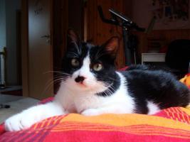 Foto 4 Verschmustes Katzenmädchen 12 Mon. su. liebev. zu Hause