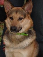 Viktor, Schäferhundmix sucht Sofa :-)