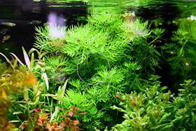 Wasserprimel, RARITÄT, Aquarienpflanzen, Versand
