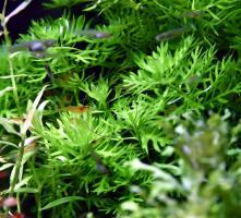 Foto 5 Wasserprimel, RARITÄT, Aquarienpflanzen, Versand