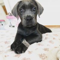 Weiblich 3 Monate alt CaneCorso Welpen zur Adoption !!!