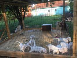 Foto 3 Weibliche Dogo Argentinos zum Verkauf