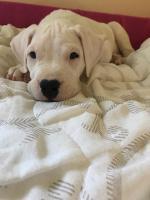 Foto 5 Weibliche Dogo Argentinos zum Verkauf