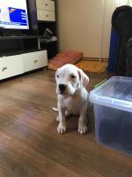 Foto 6 Weibliche Dogo Argentinos zum Verkauf
