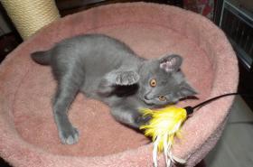 Foto 3 Weibliche Kartäuser Chartreux Kitte
