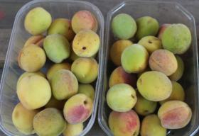 Foto 2 Weinbergpfirsich Früchte aus eigener natürlicher Ernte