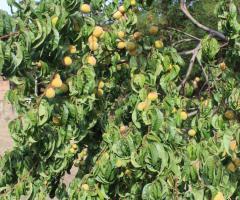 Foto 4 Weinbergpfirsich Früchte aus eigener natürlicher Ernte