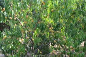 Foto 5 Weinbergpfirsich Früchte aus eigener natürlicher Ernte