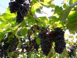 Weintrauben Kernöl