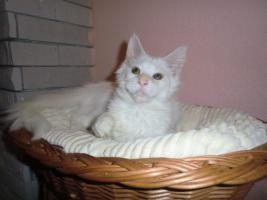 Weiße Maine Coon Katzenbabys