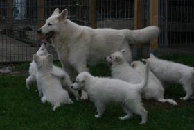 Foto 3 Weisse Schäferhund Welpen
