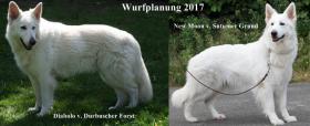Foto 4 Weisse Schäferhund Welpen