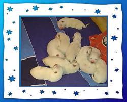 Foto 2 Weiße Schäferhund Welpen