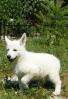Weiße Schäferhund-Welpen mit Stammb. aus gepr. dt. 5-Sterne-Zucht