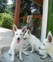 Foto 2 Weiße Schäferhund-Welpen mit Stammb. aus gepr. dt. 5-Sterne-Zucht