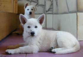 Foto 4 Weiße Schäferhund-Welpen mit Stammb. aus gepr. dt. 5-Sterne-Zucht