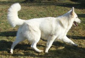 Foto 5 Weiße Schäferhund-Welpen mit Stammb. aus gepr. dt. 5-Sterne-Zucht